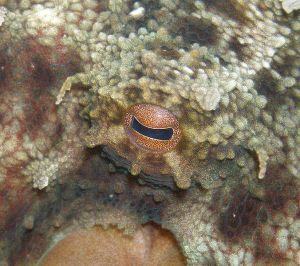 Octopus eye